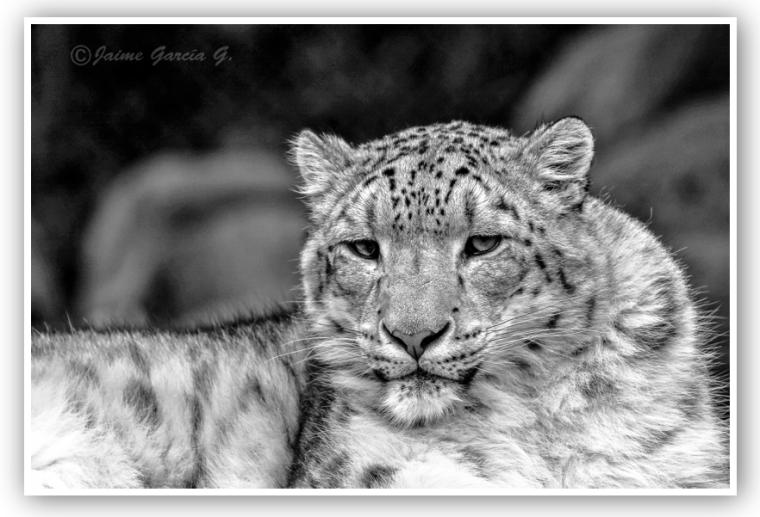 Leopardo de las Nieves, final.marco